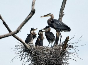 Blue Heron Rookery at the Hyatt