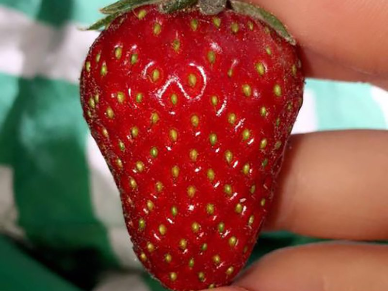 Strawberry patch at Emily's Produce