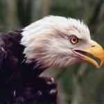 Bald Eagle by Phil Miller