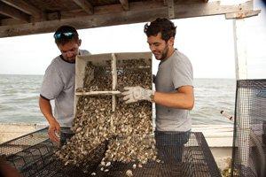 Barren Island Oysters