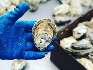 Madhouse Oysters - aquaculture from Hoopers Island, MD