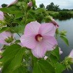 Marsh Hibiscus