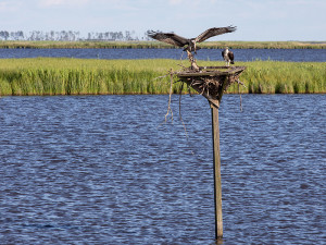 Osprey nest at Blackwater National Wildlife Refuge near Cambridge, MD