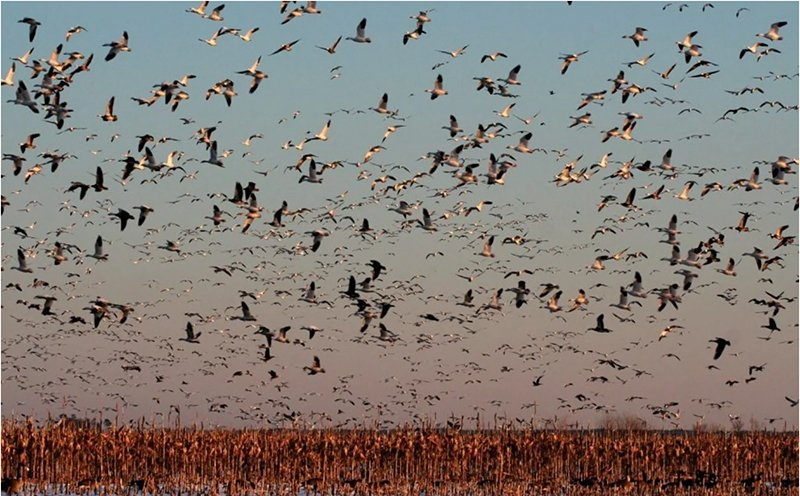 Snow Geese at Blackwater National Wildlife Refuge in Dorchester County, MD