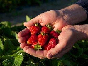 Strawberry Picking at Emily's Prorduce; photo by Jill Jasuta
