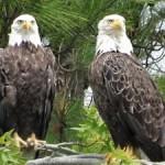 Eagles at Blackwater National Wildlife Refuge - photo by Lisa Mayo